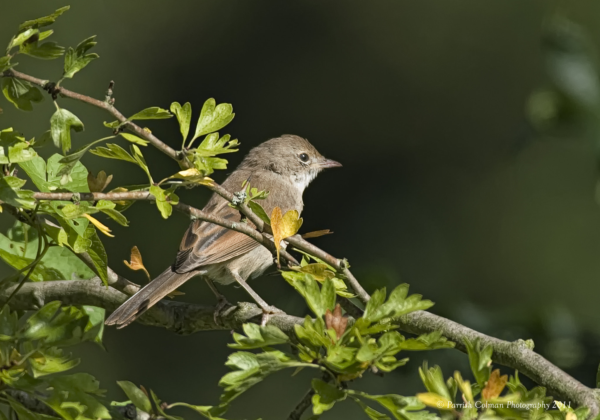 Photograph Whitethroat by Parrish Colman on 500px