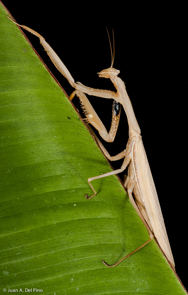 Photograph Mantis by Juan A. Del Pino Bolaños on 500px