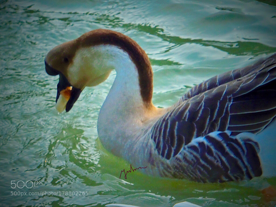 Horned duck with bread in his mouth