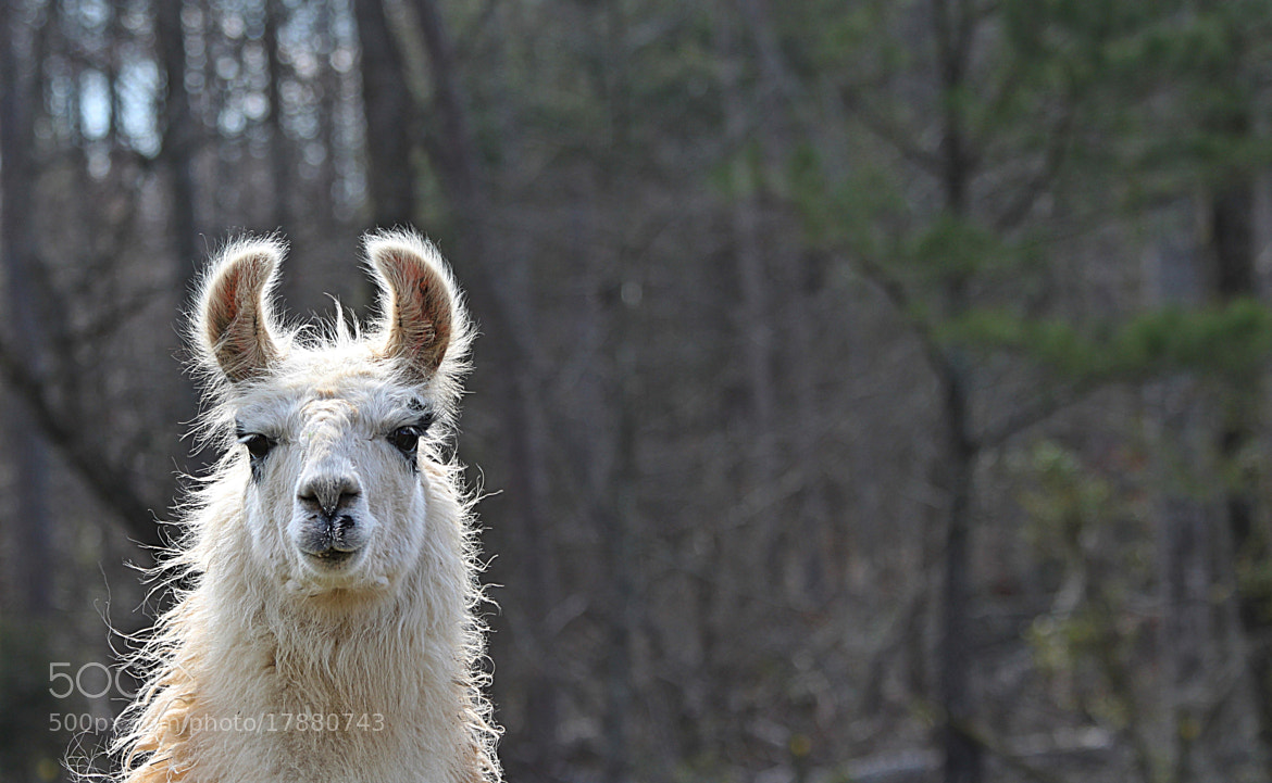 Photograph Rescued Llama! by michelle phenix on 500px