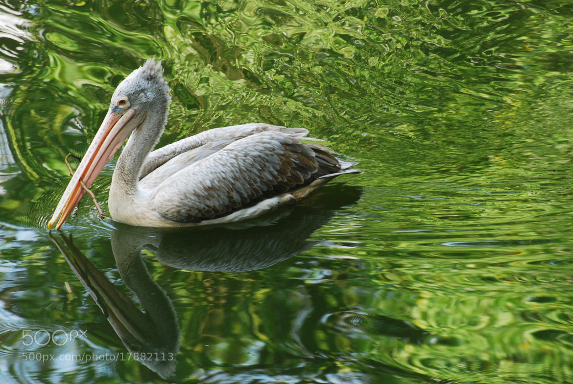 Photograph Pelican reflection by Heshan  de Mel on 500px