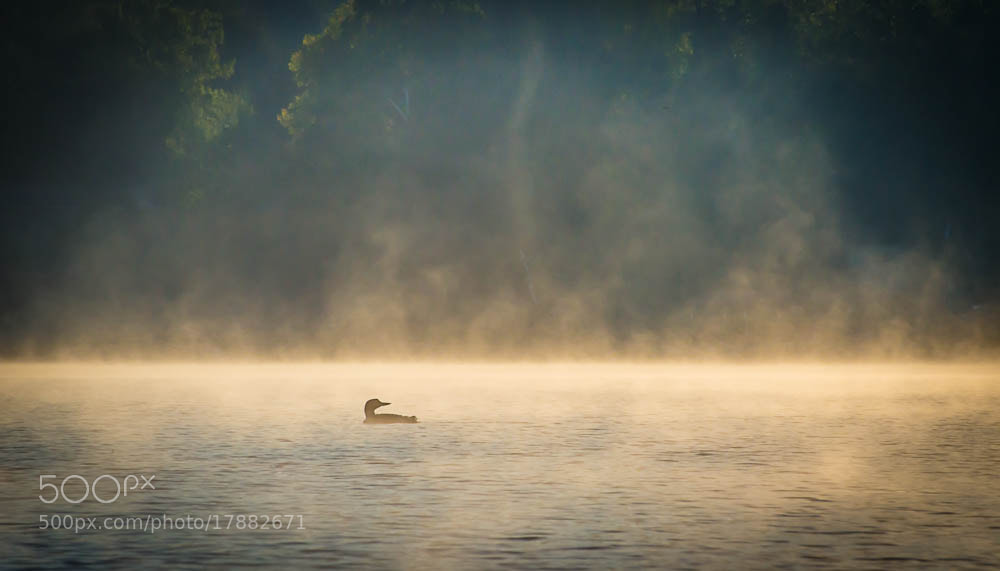 Photograph misty loon by Lylis Designs on 500px