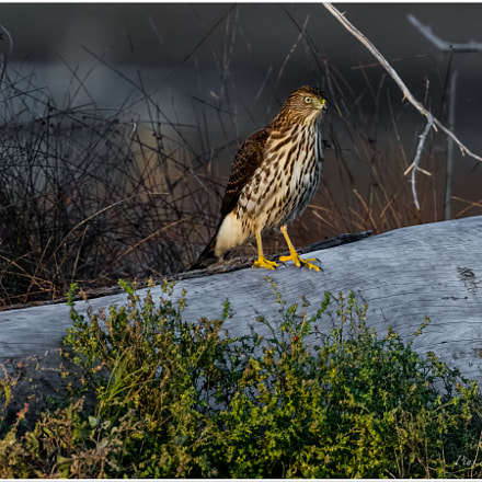 Coopers Hawk, Canon EOS 5DS R, Canon EF 400mm f/4 DO IS II USM
