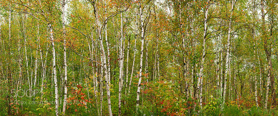 Colourful birch forest.