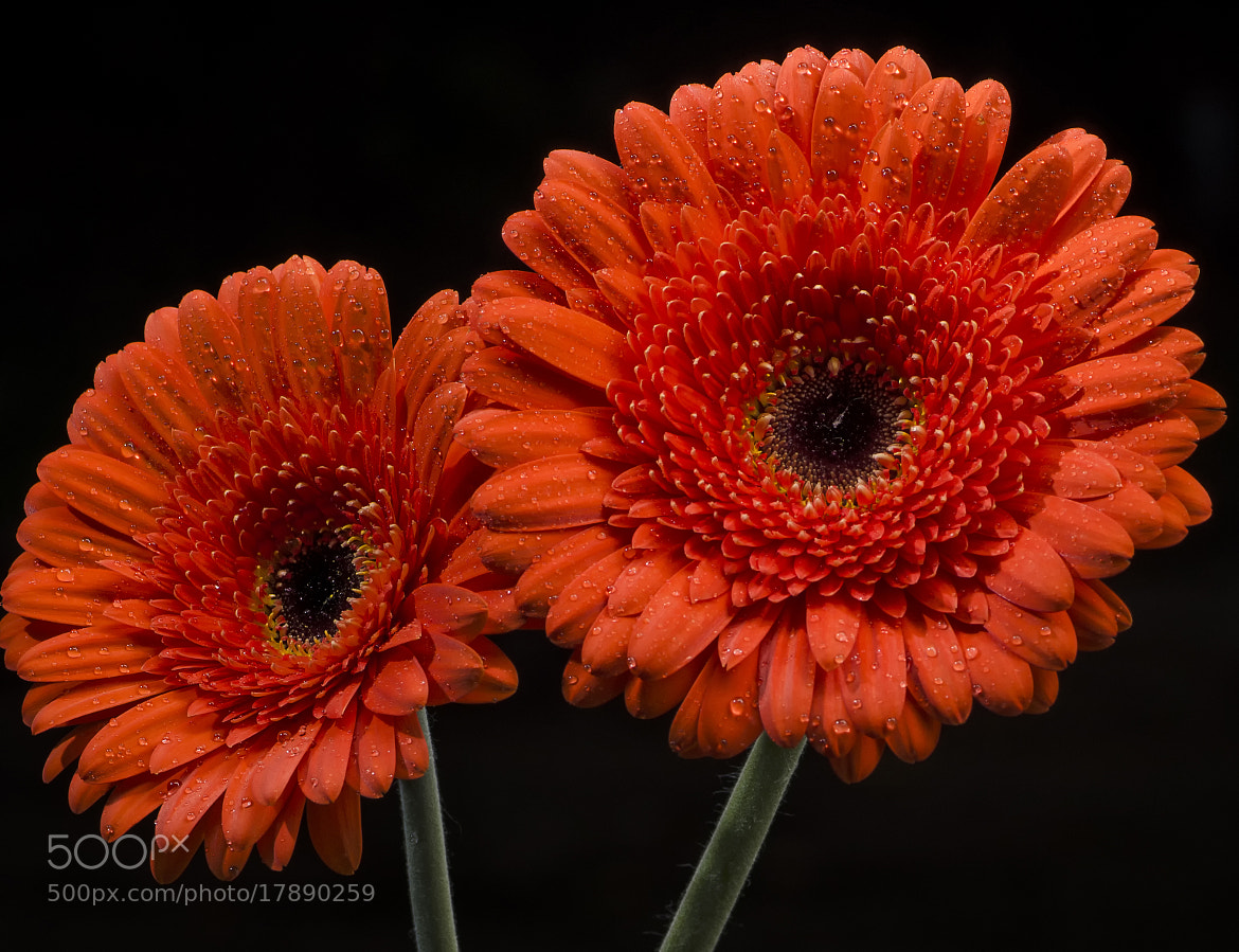 Photograph Gerbera Daisy by Keith Horkins on 500px