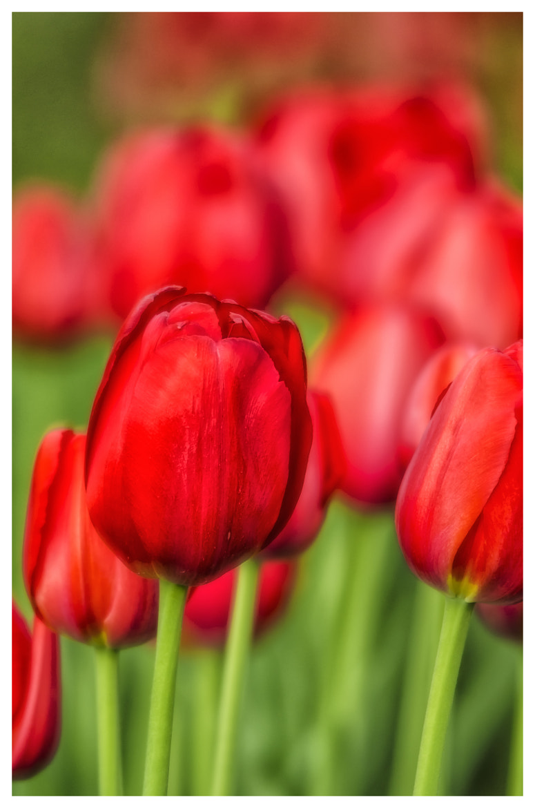 Photograph Tulips by Keith Horkins on 500px