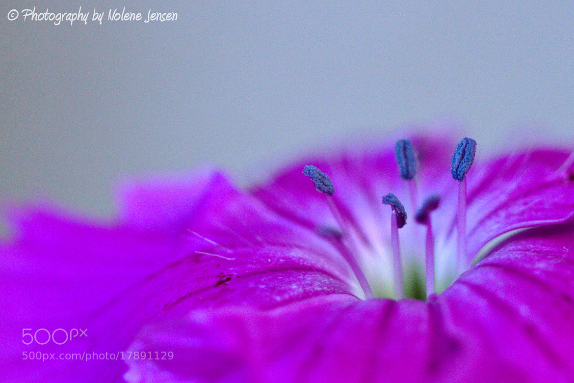 Photograph Dreamy Dianthus by Nolene Jensen on 500px