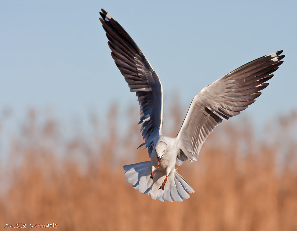 """Photograph The """"gull"""" has landed by Amelia Vermaak on 500px"""