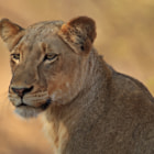 One of the two Jacaranda Pride lionesses we encountered on the morning of our third day of our safari in the Motswari Private Game Reserve.