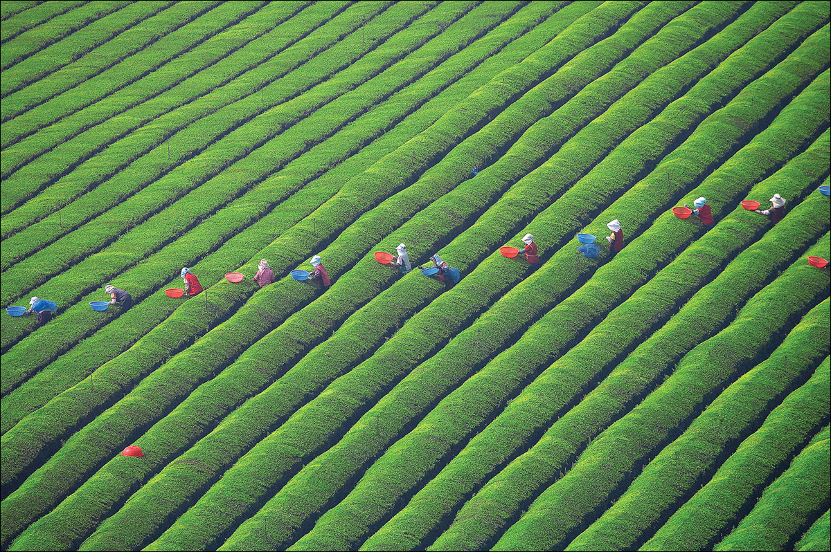Photograph The pattern of tea fields by keehwan Kim on 500px