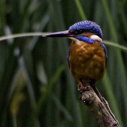 Eurasian Kingfisher (Alcedo Atthis), Sony SLT-A77V, Sigma AF 170-500mm F5-6.3 APO Aspherical