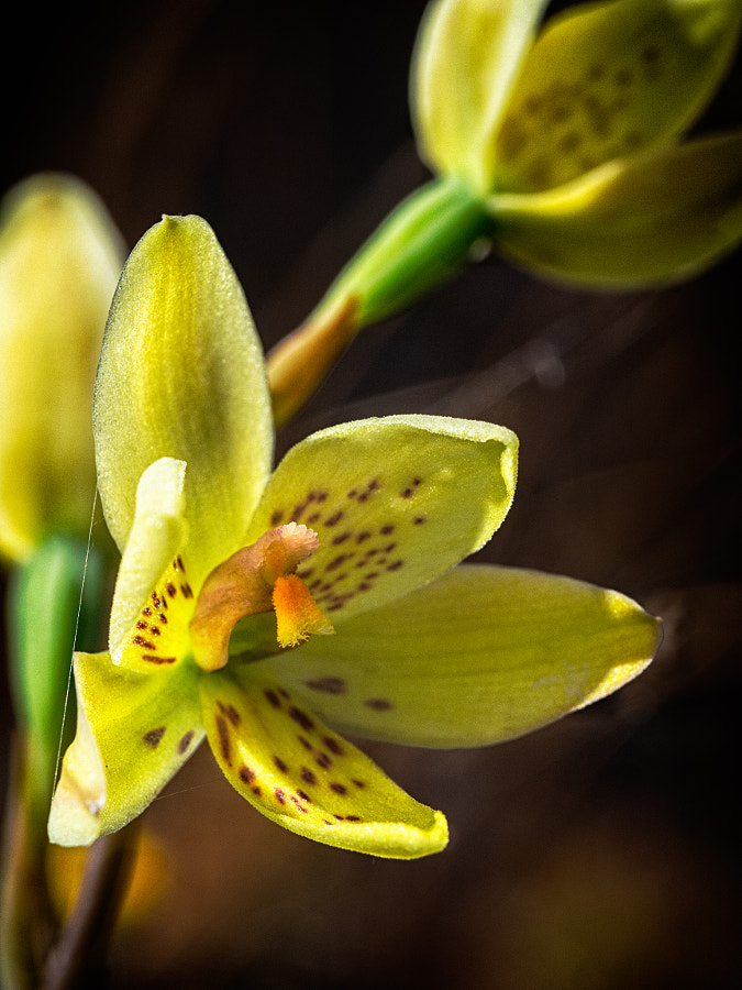 Custard Orchid by Paul Amyes on 500px.com