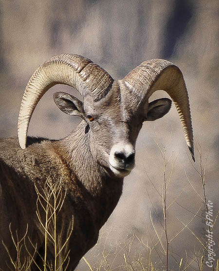 Photograph big horn sheep  by bob perkins on 500px