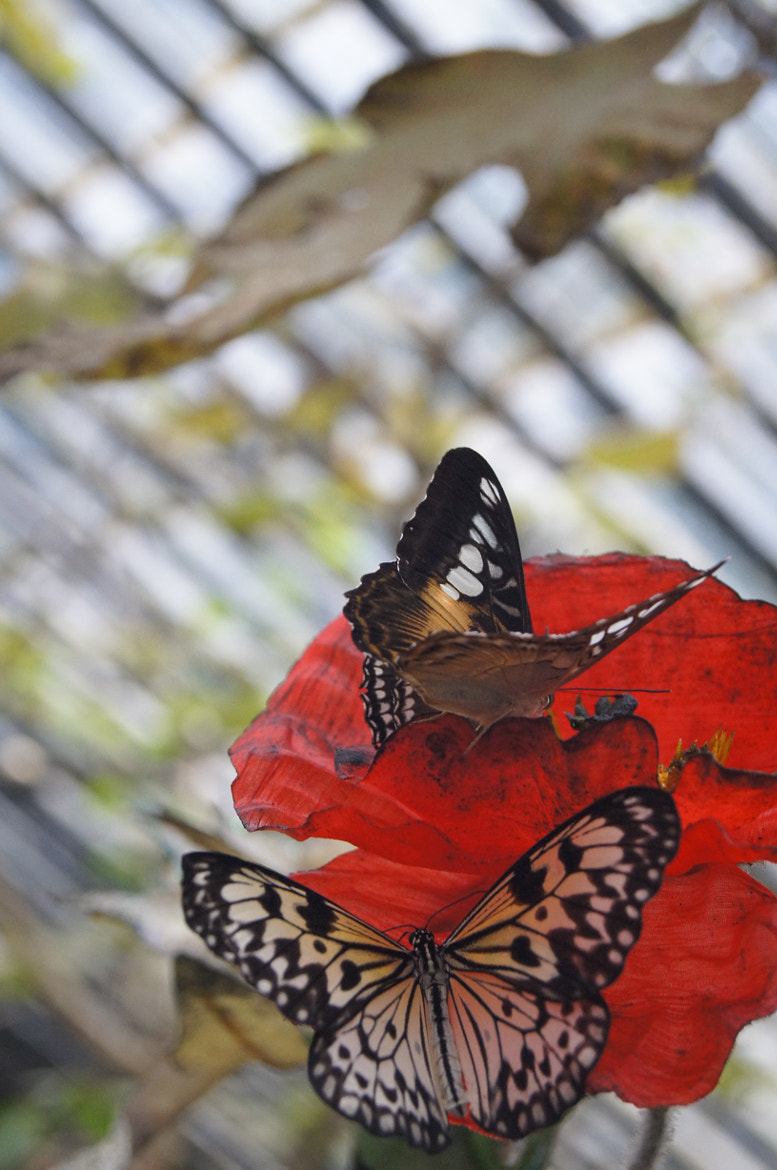 Photograph Butterflies on the red by Konstantin Mayurnikov on 500px