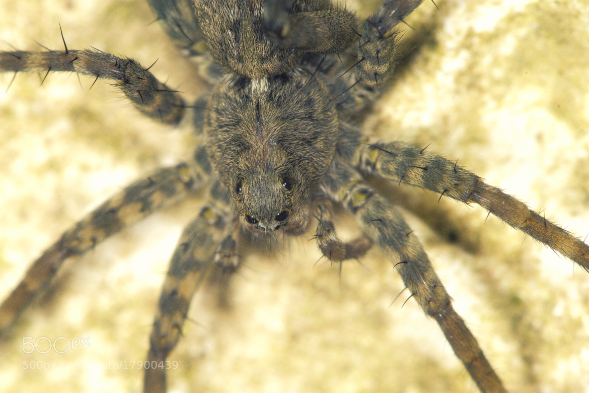 Photograph wolf spider by Can Dogan on 500px