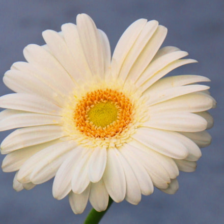 White Gerbera, Canon EOS 70D, Canon EF-S15-85mm f/3.5-5.6 IS USM