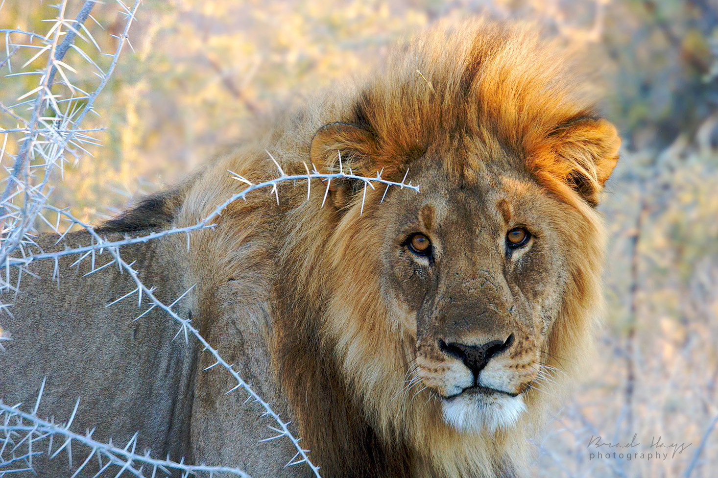 Photograph Wild Namibian Lion by Brad Hays on 500px