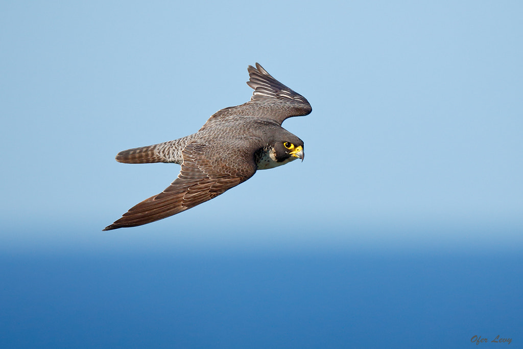 Photograph Peregrine fly by by Ofer Levy on 500px