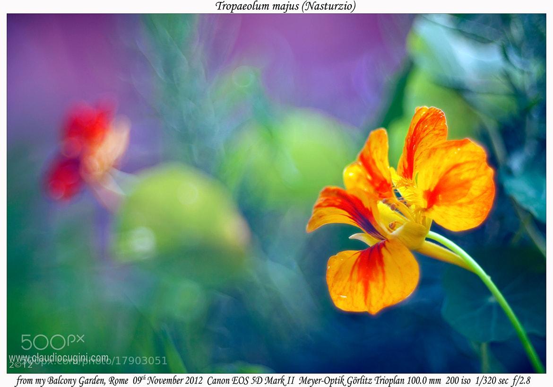 Photograph Tropaeolum major (Nasturzio) by Claudio Cugini on 500px