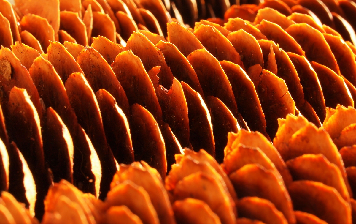 Photograph Pine Cones 1 by Marco Scodeggio on 500px