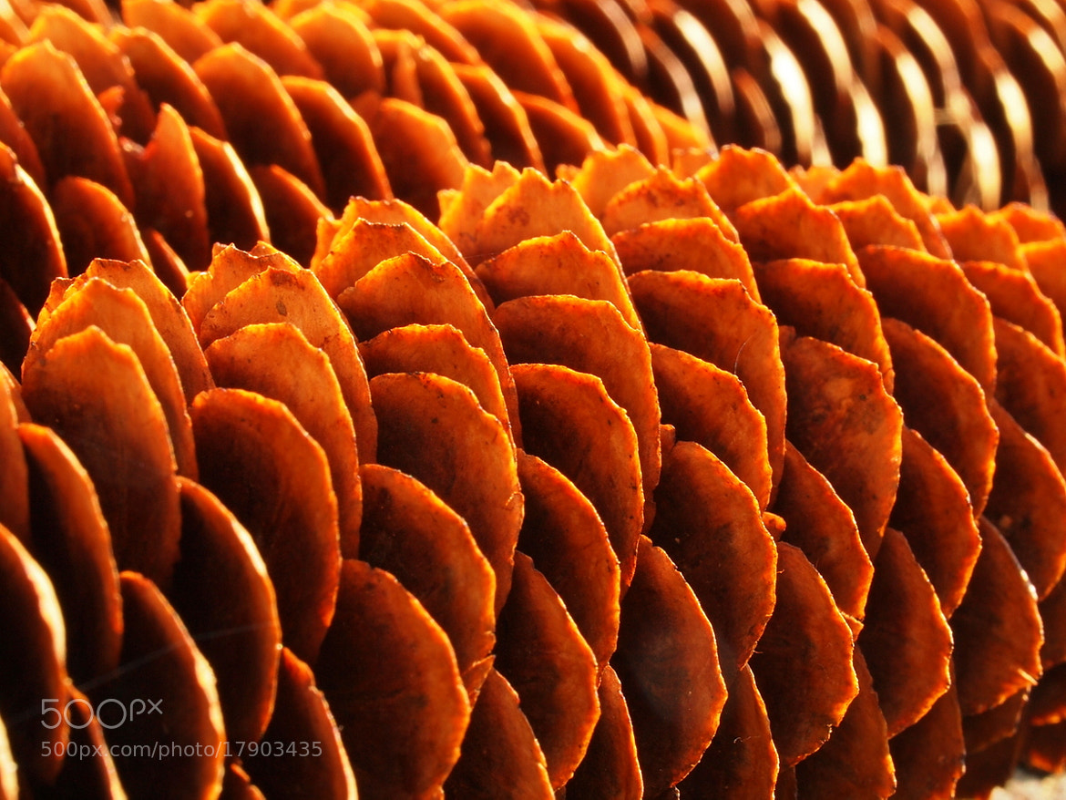 Photograph Pine Cones 2 by Marco Scodeggio on 500px