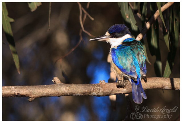 Photograph Kingfisher by David Arnold on 500px
