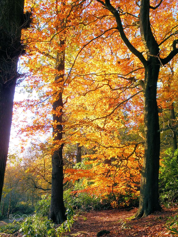 Photograph Autumn Tree by Lisa Devonport on 500px