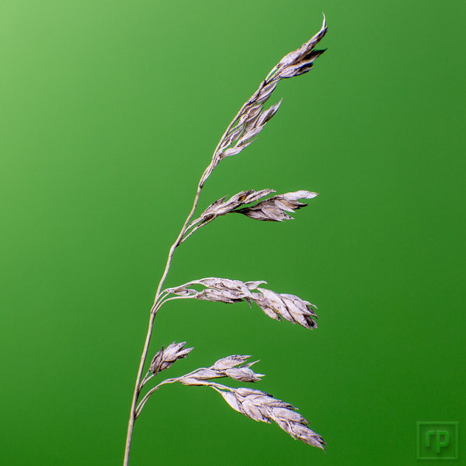 Photograph 15+1: grasses i (1) by Robert Plantfield on 500px