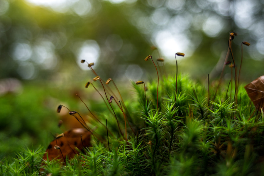 Sprouting Polytrichum