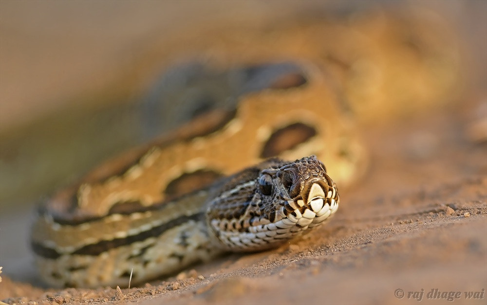 Photograph RUSSELLS VIPER by raj dhage on 500px