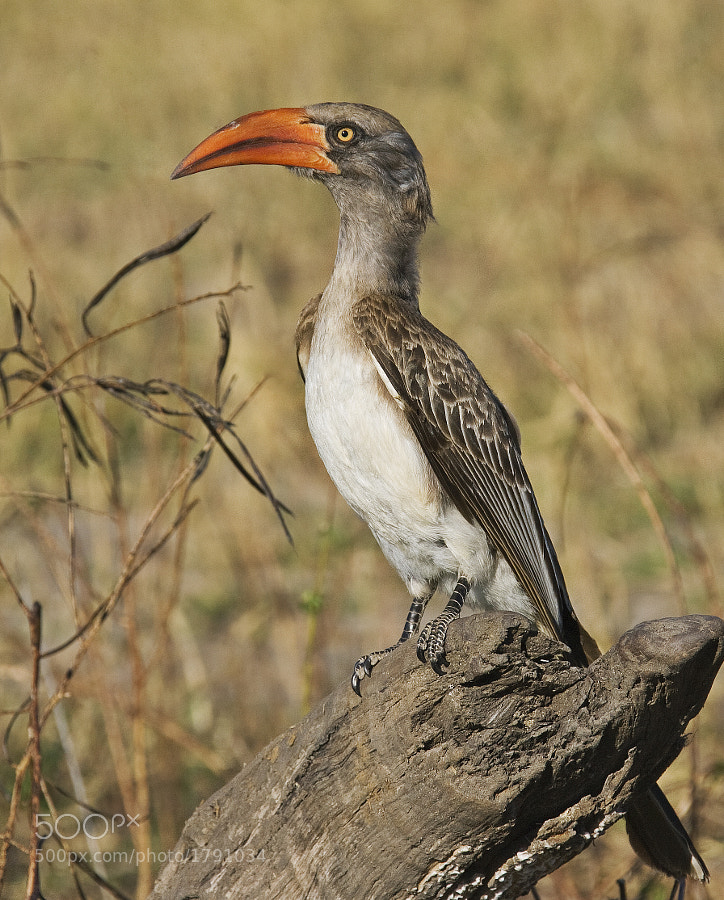 Off to Zimbabwe this evening for a month. This rarer Hornbill was taken in Hwange NP, 19th June 2009.