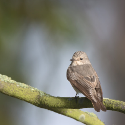 Spotted flycatcher, Canon EOS-1D X, Canon EF 600mm f/4L IS + 1.4x