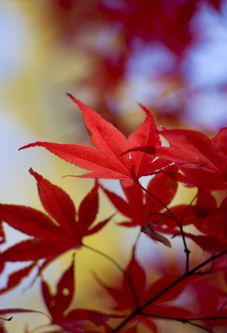 Photograph Red Maple 01 by Masato Sawamura on 500px