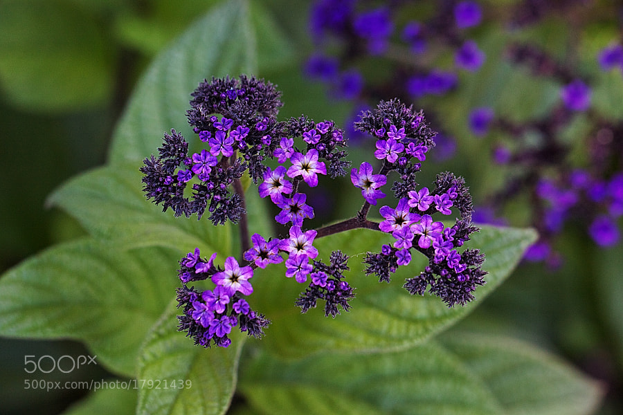 Photograph Purple Power by Bill Bell on 500px
