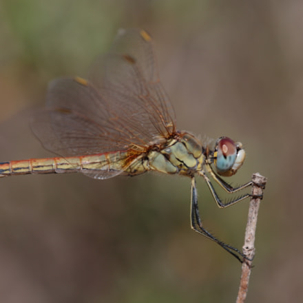 Red veined darter, Canon EOS 70D, Tamron SP AF 180mm f/3.5 Di Macro