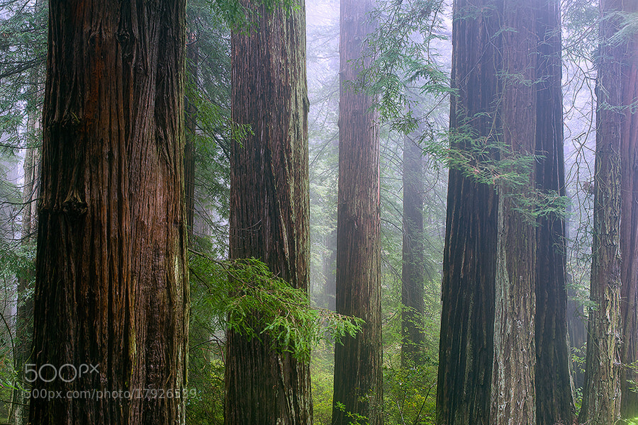 Photograph Redwoods by Rick Lundh on 500px