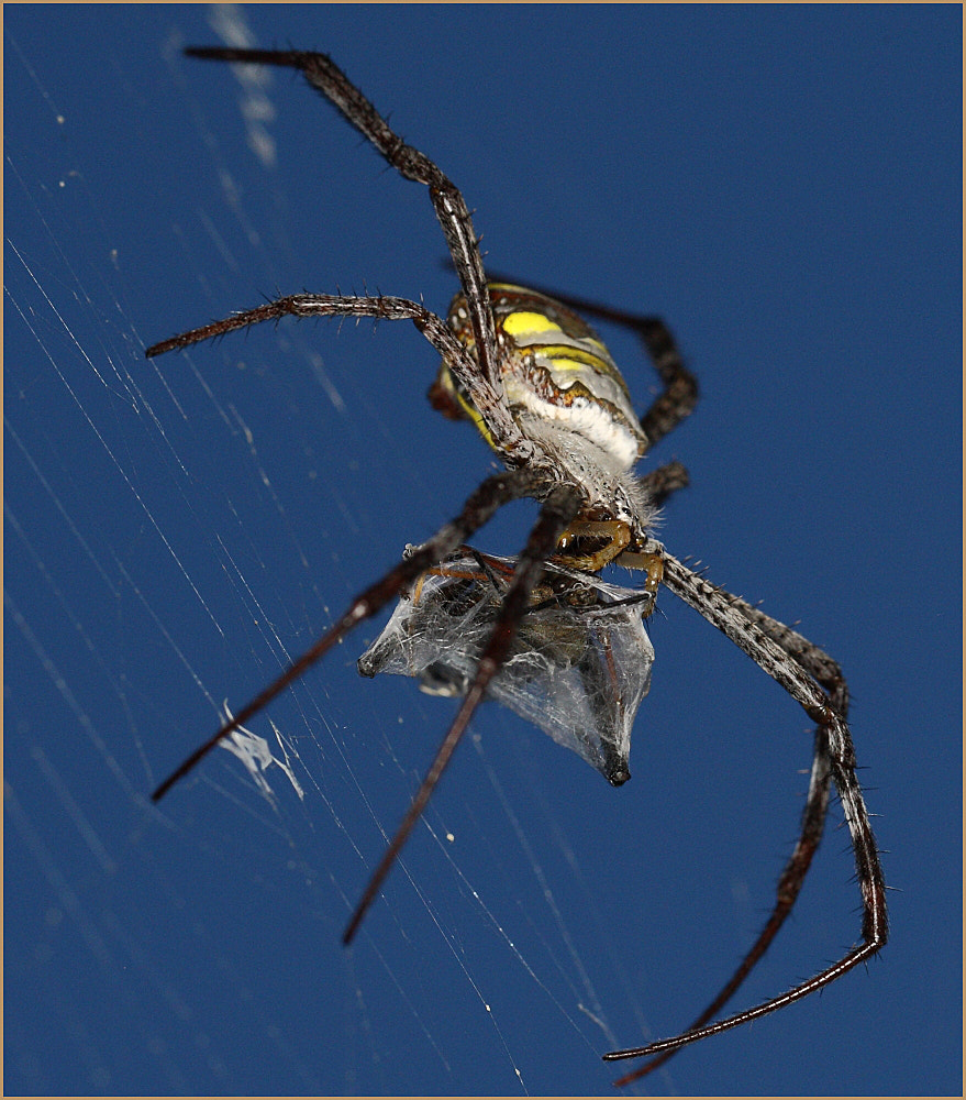 Photograph St Andrew's Cross Spider.Argiope versicolor (Doleschall). by colin beeley on 500px