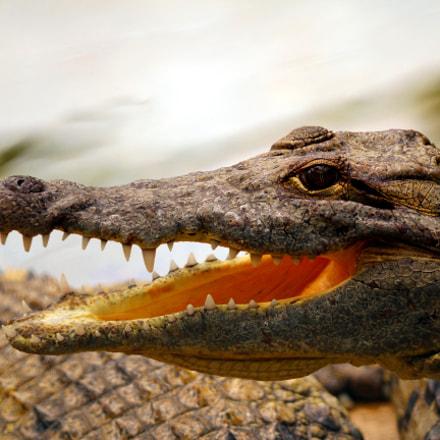 Crocodile at Hamat Gader