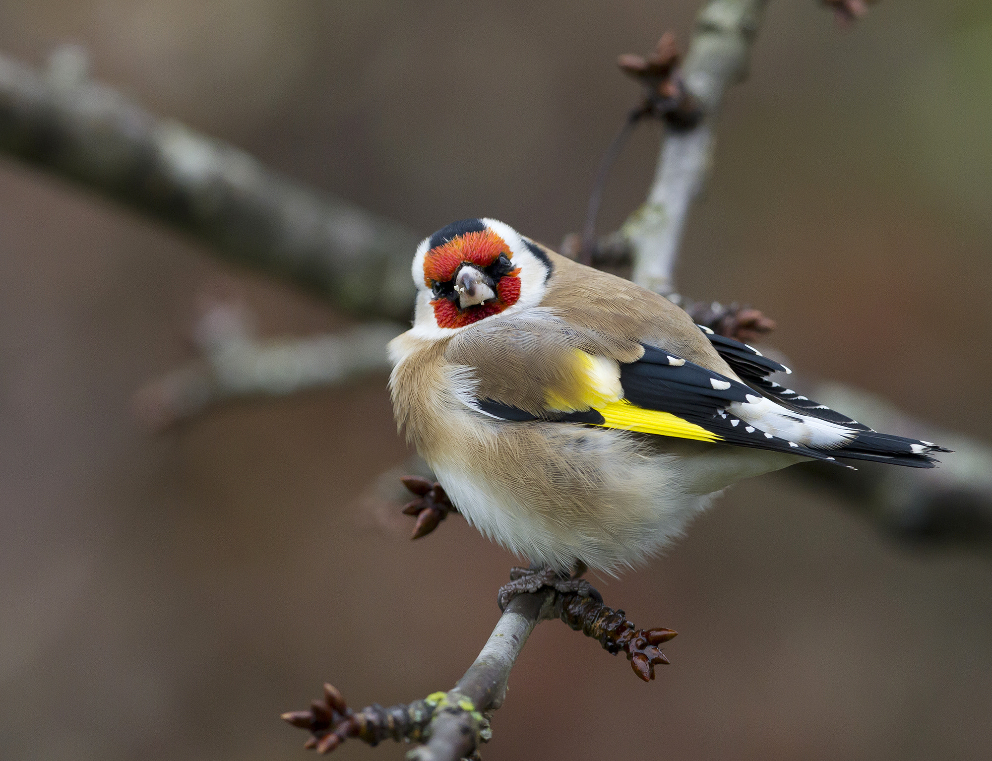 Photograph Goldfinch by Helge Hammertoft on 500px