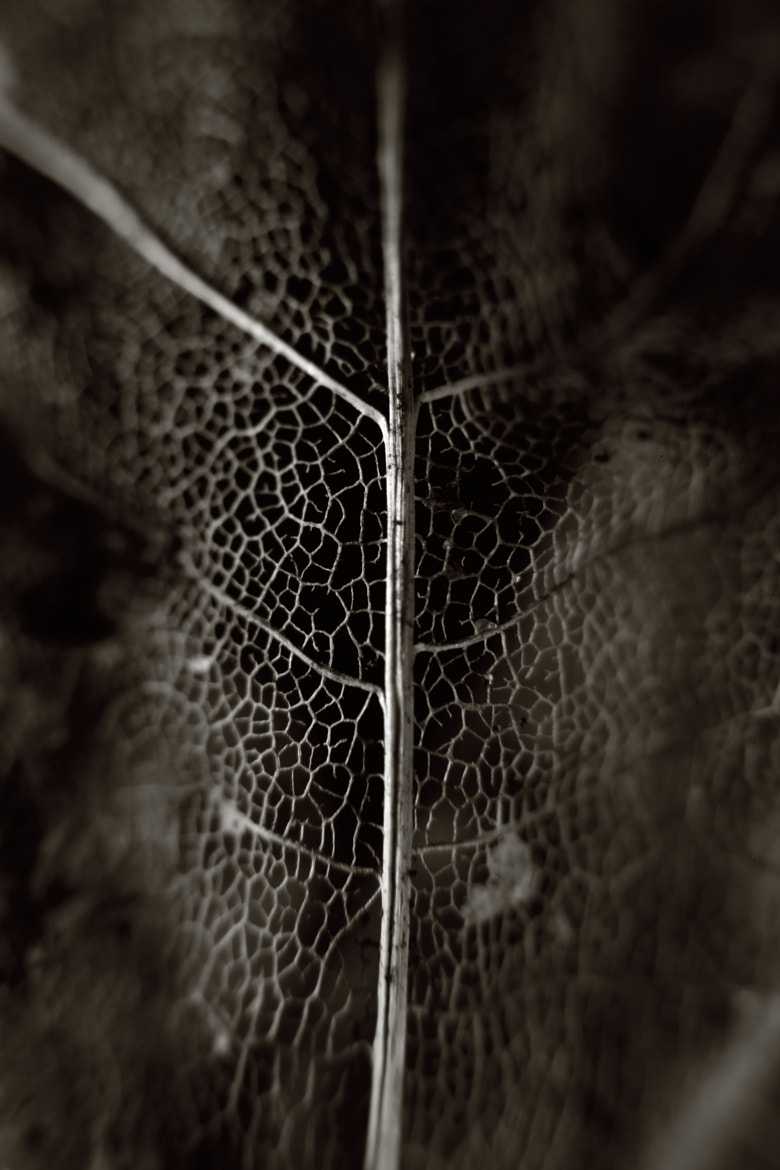 Photograph Skeletal Leaf by Oliver Turpin on 500px