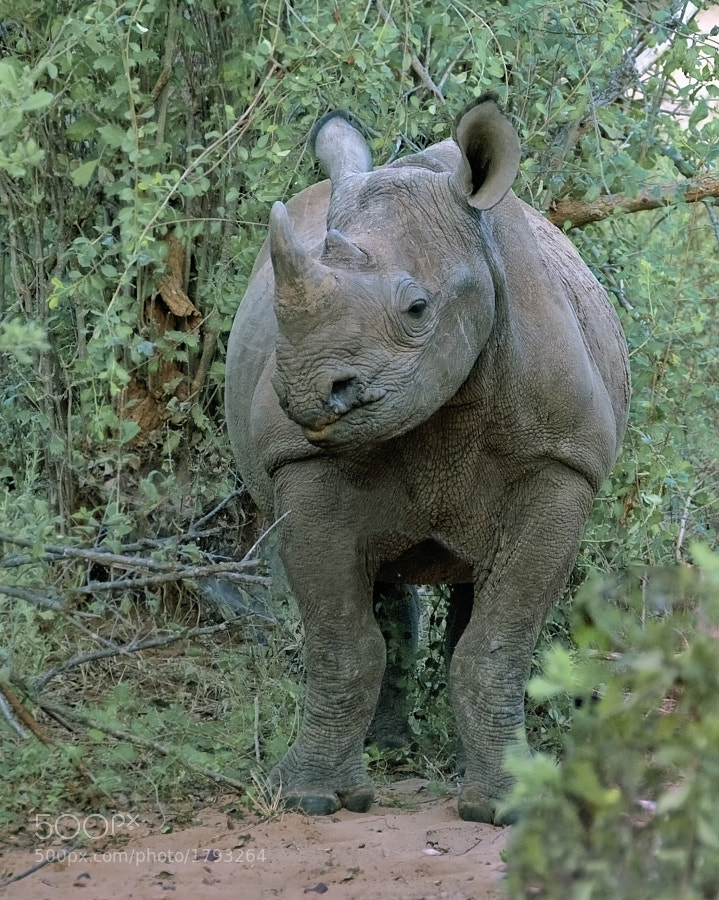 Took this young and feisty Black Rhino on foot from the shelter of the toilet entrance at Rhino Island , Matusadona, Zimbabwe, 1th June 2009