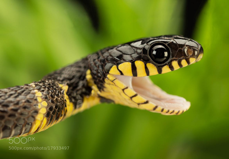 Photograph Mangrove Snake IIIII by Henrik Vind on 500px