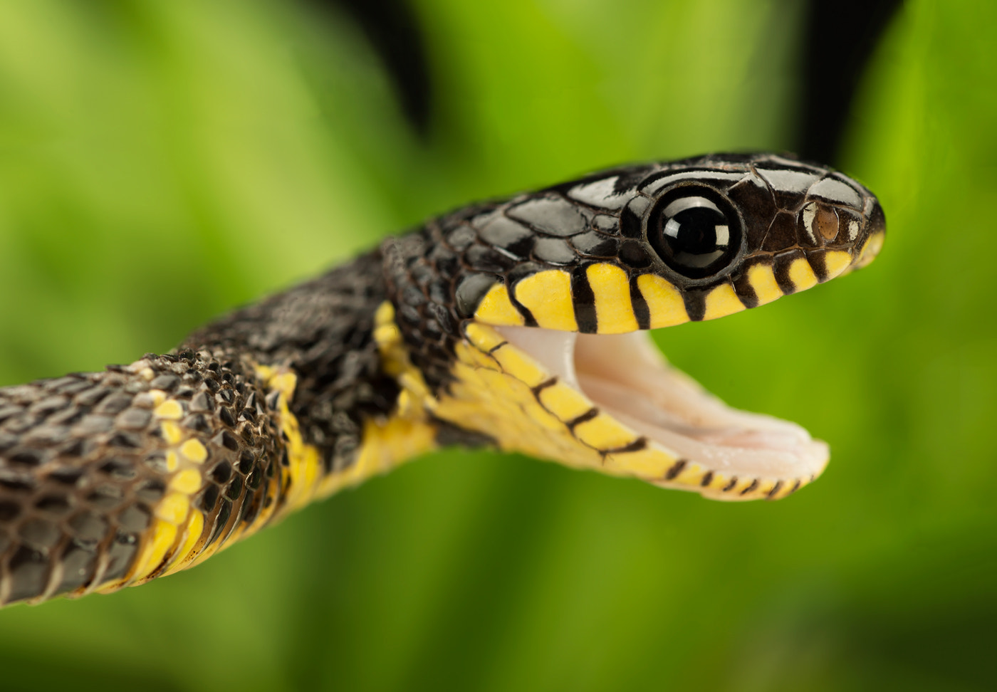 Photograph Mangrove Snake IIIII by Henrik Vind on 500px