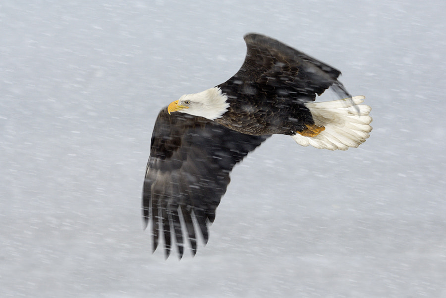 On a cold and windy morning with bad light and lots of snow falling down I decided to go for some panning shots at the Eagles in flight. Most of the time it failed because the AF of the camera did focus on the snow and/or there was to much blur due to movement of the Eagles, but I was very happy with this result.