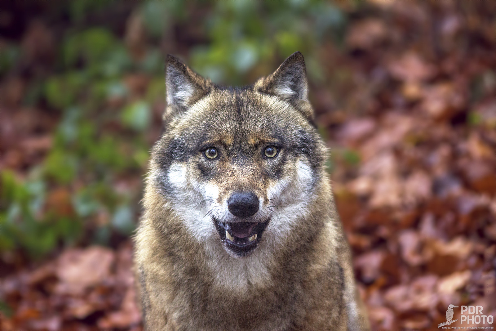 Photograph Wolf by PdR Photo on 500px