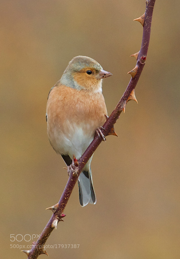 Photograph Chaffinch by Samuel Aron on 500px