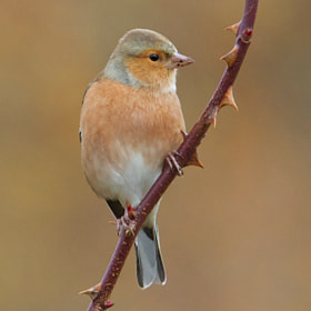 Chaffinch by Samuel Aron (Samuel_Aron)) on 500px.com