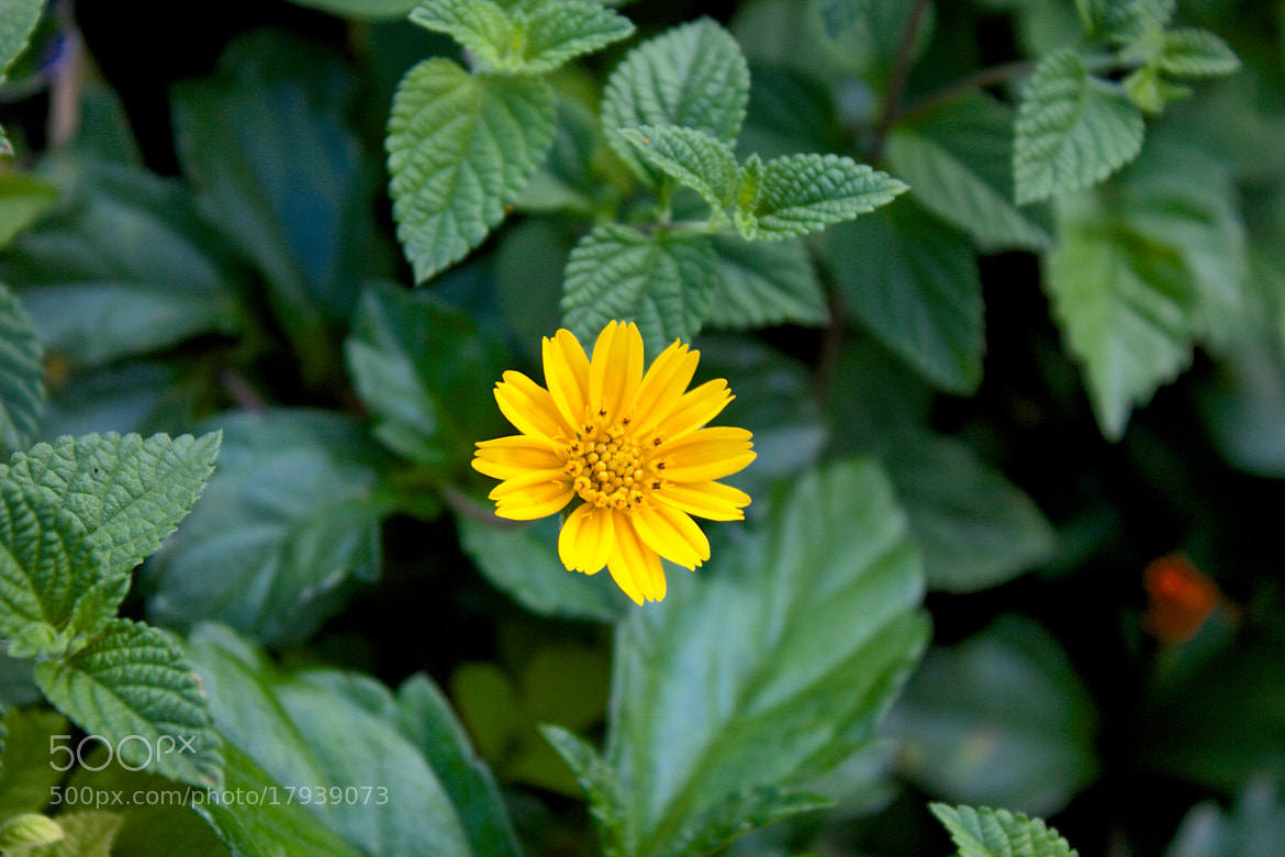 Photograph Flower by Shobhit Saxena on 500px