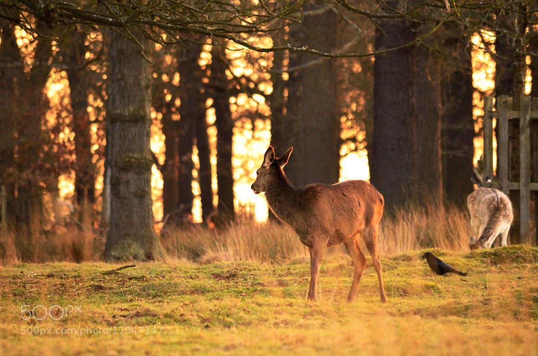 Photograph Deer by Girish Nayyar on 500px