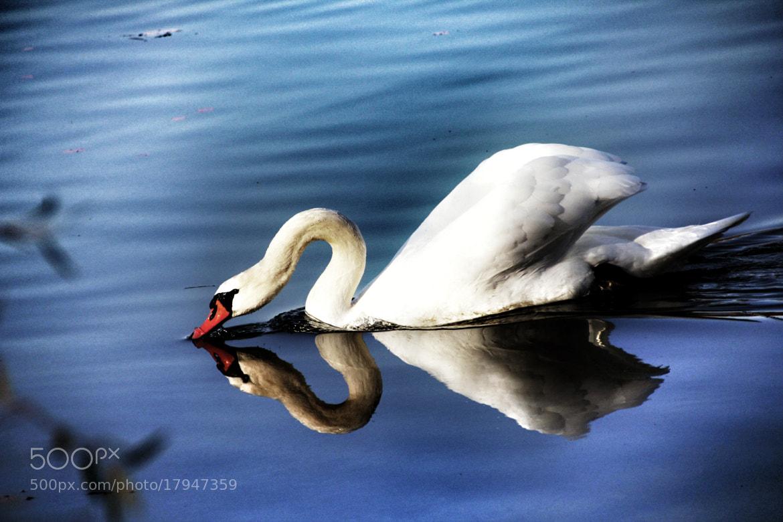 Photograph Swan by Sabine Kraniger on 500px